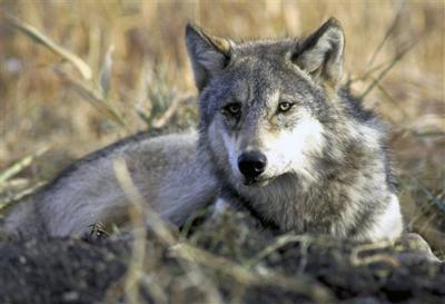 Wolves could come off endangered list