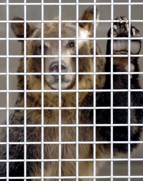A grizzly bear cub named Lou Lou