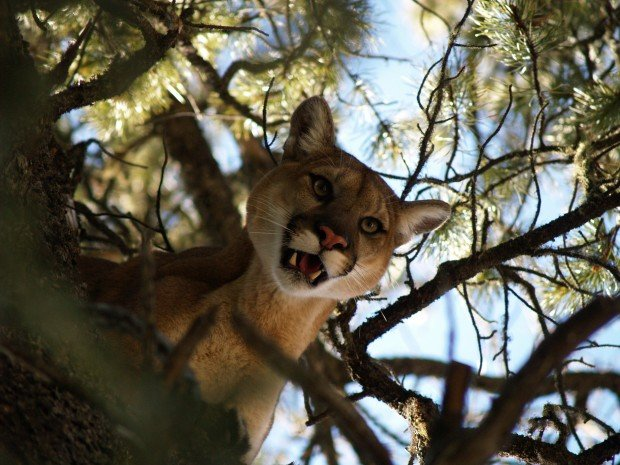 Mountain lions meals