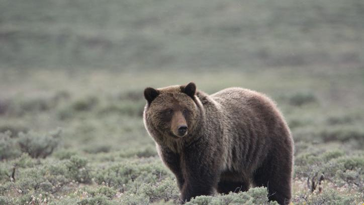 Grizzly that killed 40 sheep euthanized in northern Montana