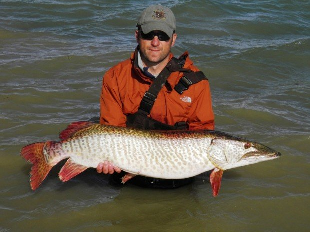 More tiger muskies thanks to donations fwp plants 800 for Tiger muskie fishing