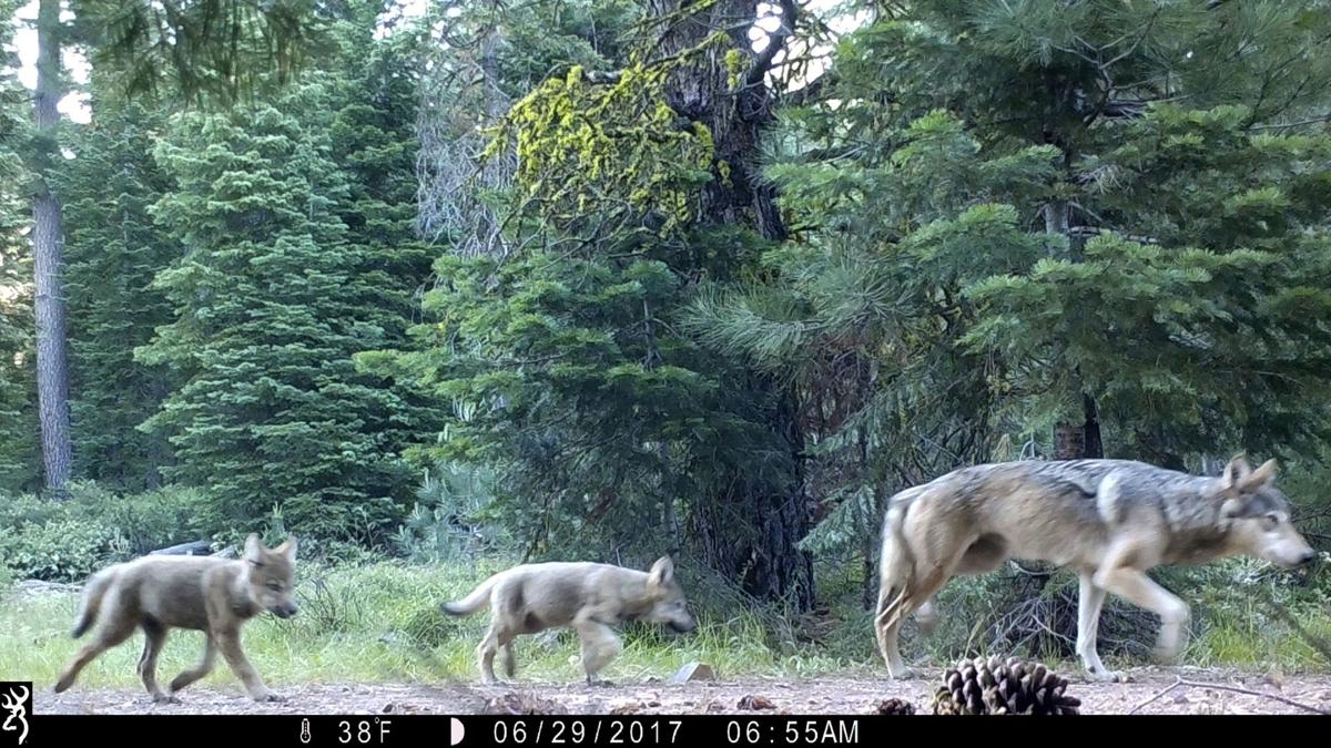 Gray Wolves Endangered
