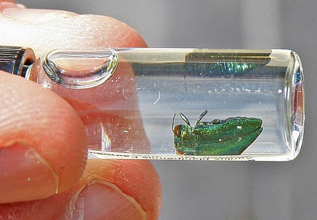 Fred Bicha holds a preserved emerald ash borer