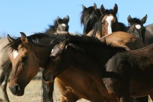 Sixteen wild horses collared for study