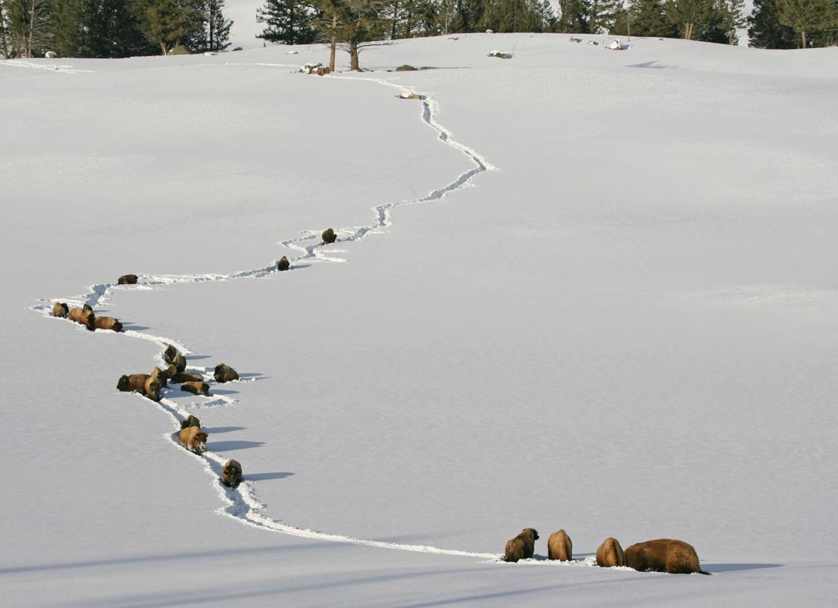 Yellowstone conga line