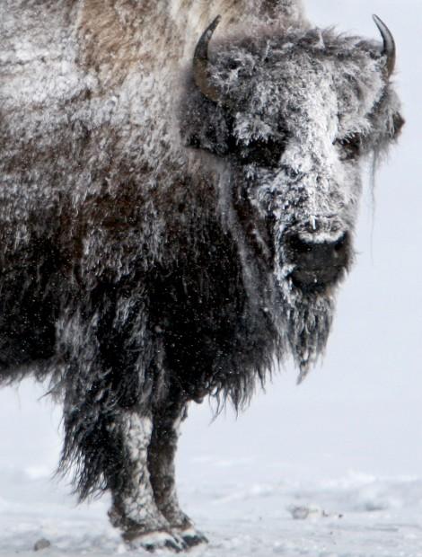 Yellowstone Park bison in winter