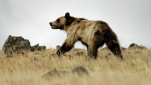 6 Grizzly Bear Deaths Expected In Wyoming Elk Hunt