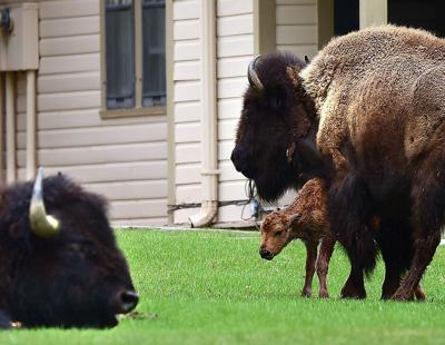 Springtime in Yellowstone is prime time to see baby bison