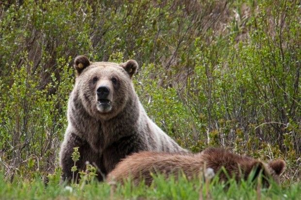 grizzly bears (copy)
