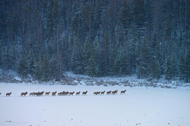 Cody herd