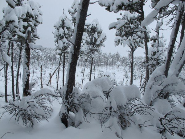 Snow piled atop a downed tree's branches gives an almost tropical look to this forest scene