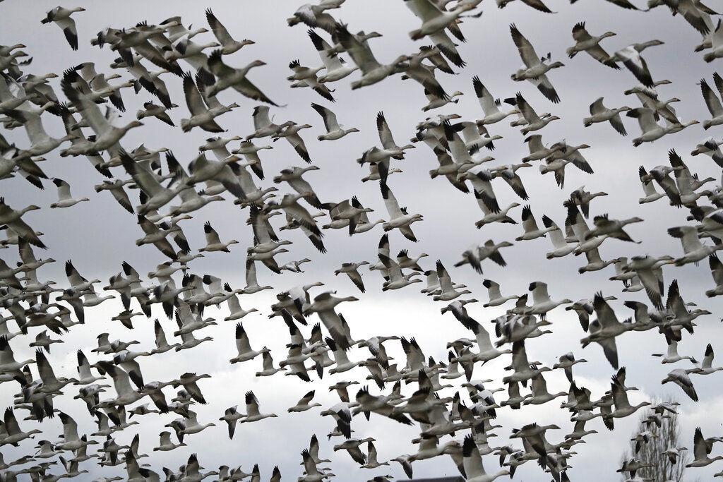 Trump Bird Deaths