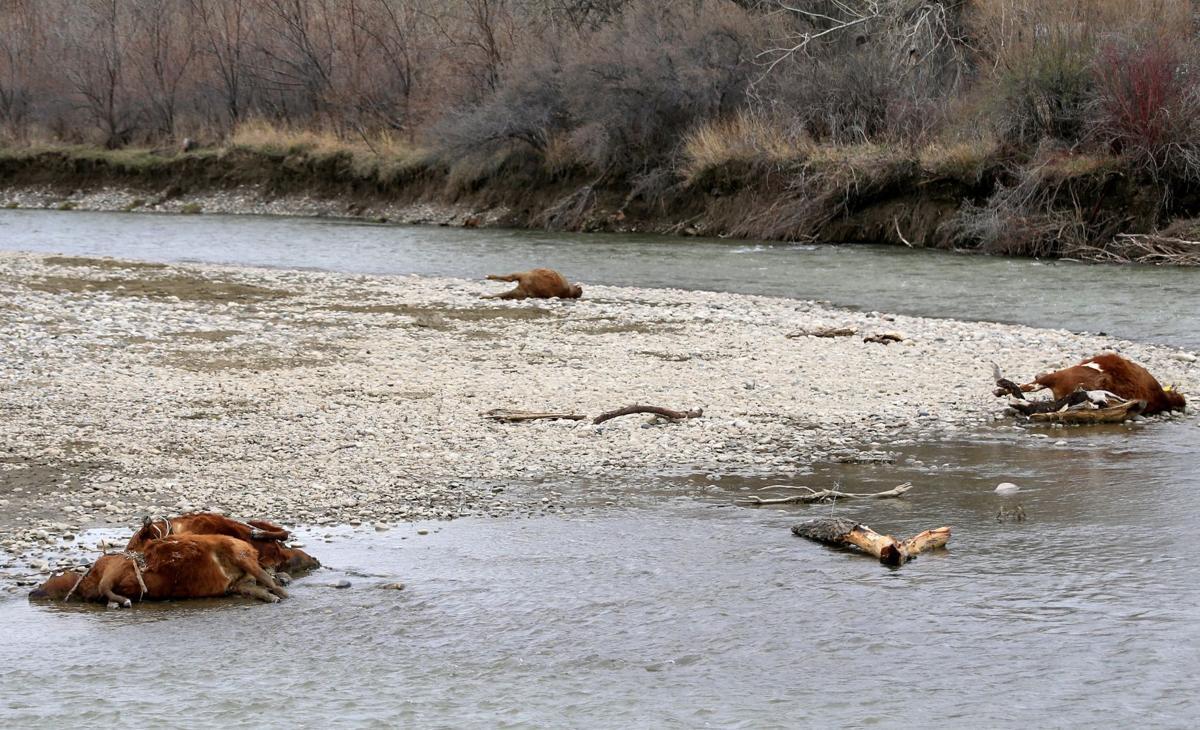 Cow death mystery