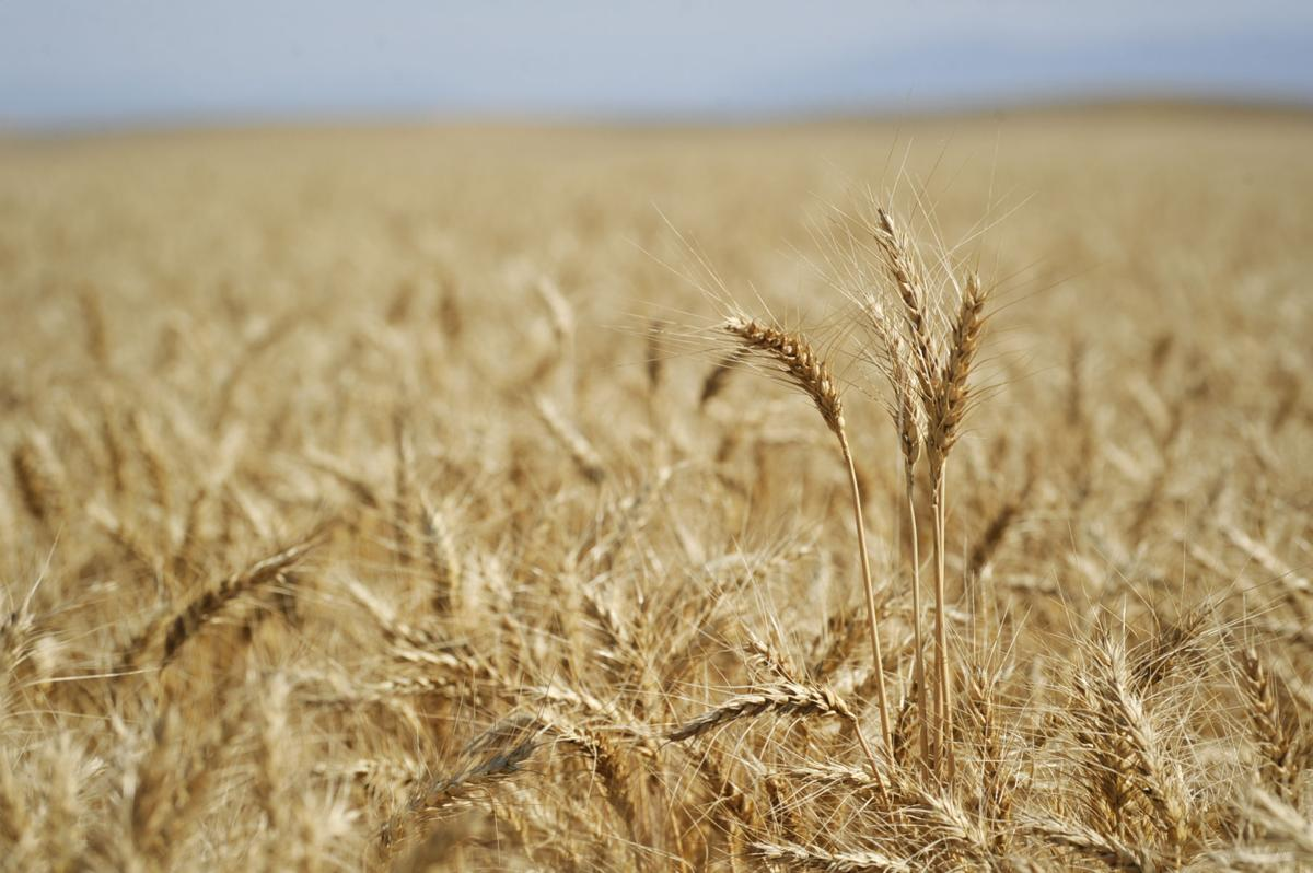 Wheat ready for harvest in a Wheat Montana Farms field.