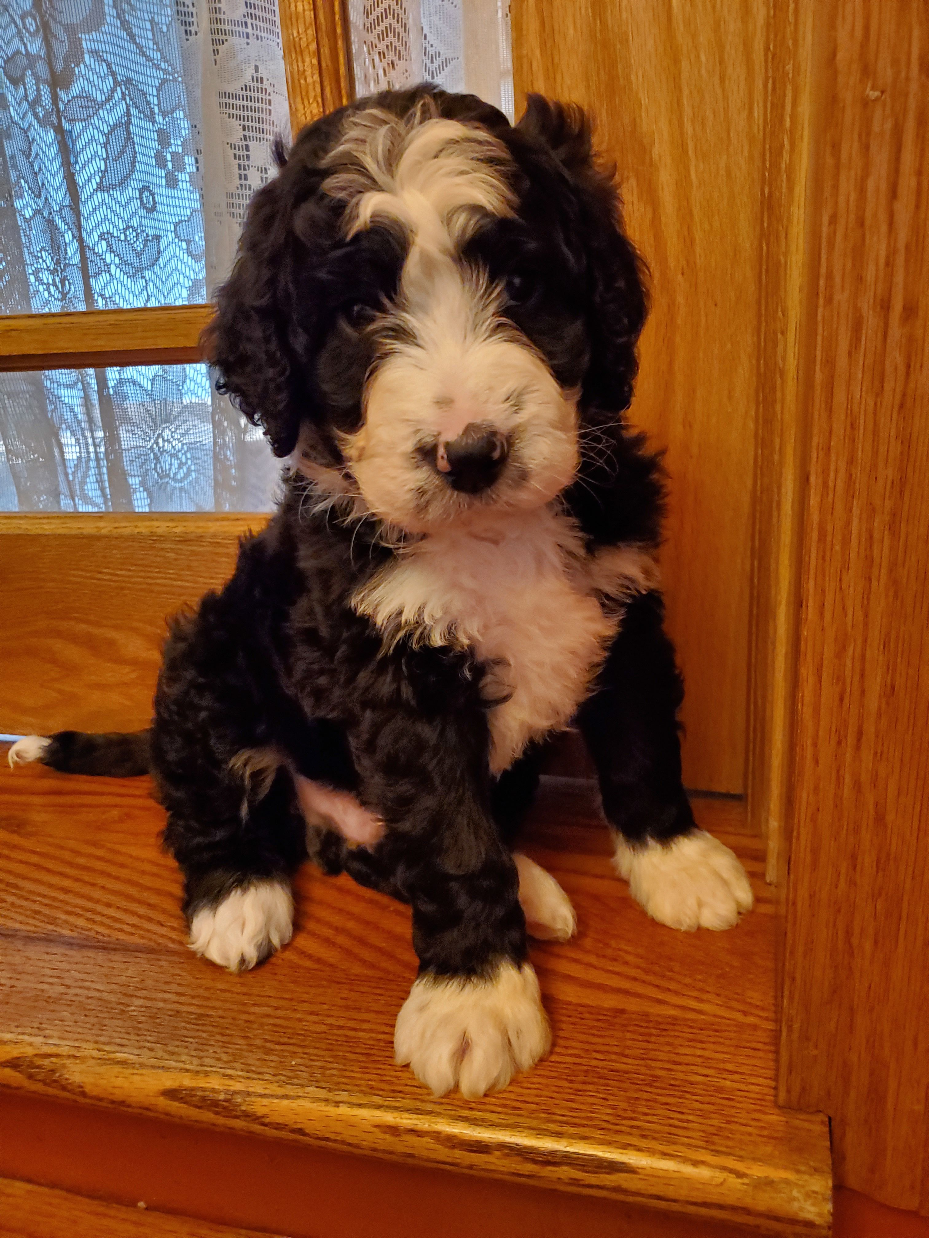 Bernedoodle Puppies image 2