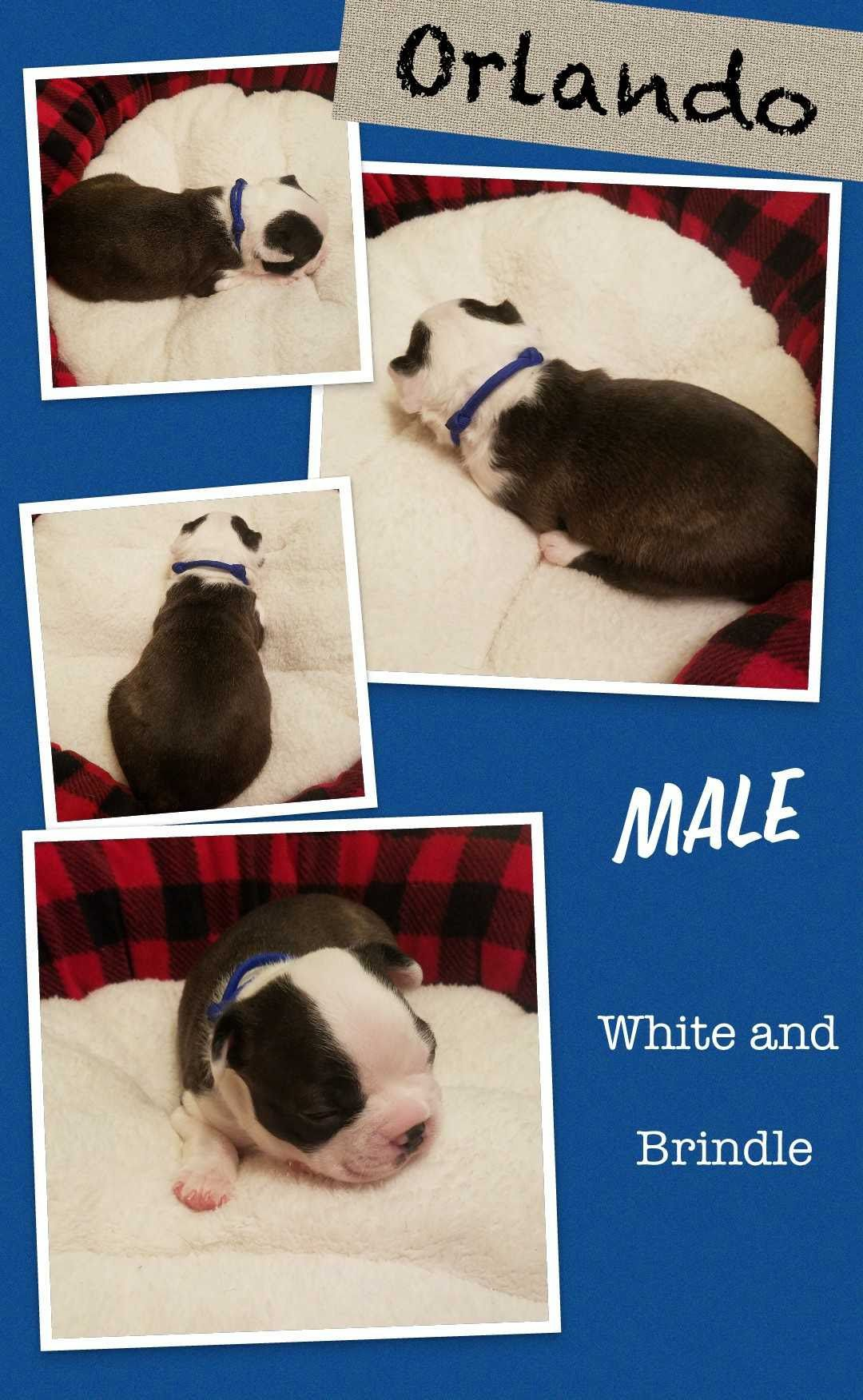 AKC Registered Boston Terrier Puppies image 1