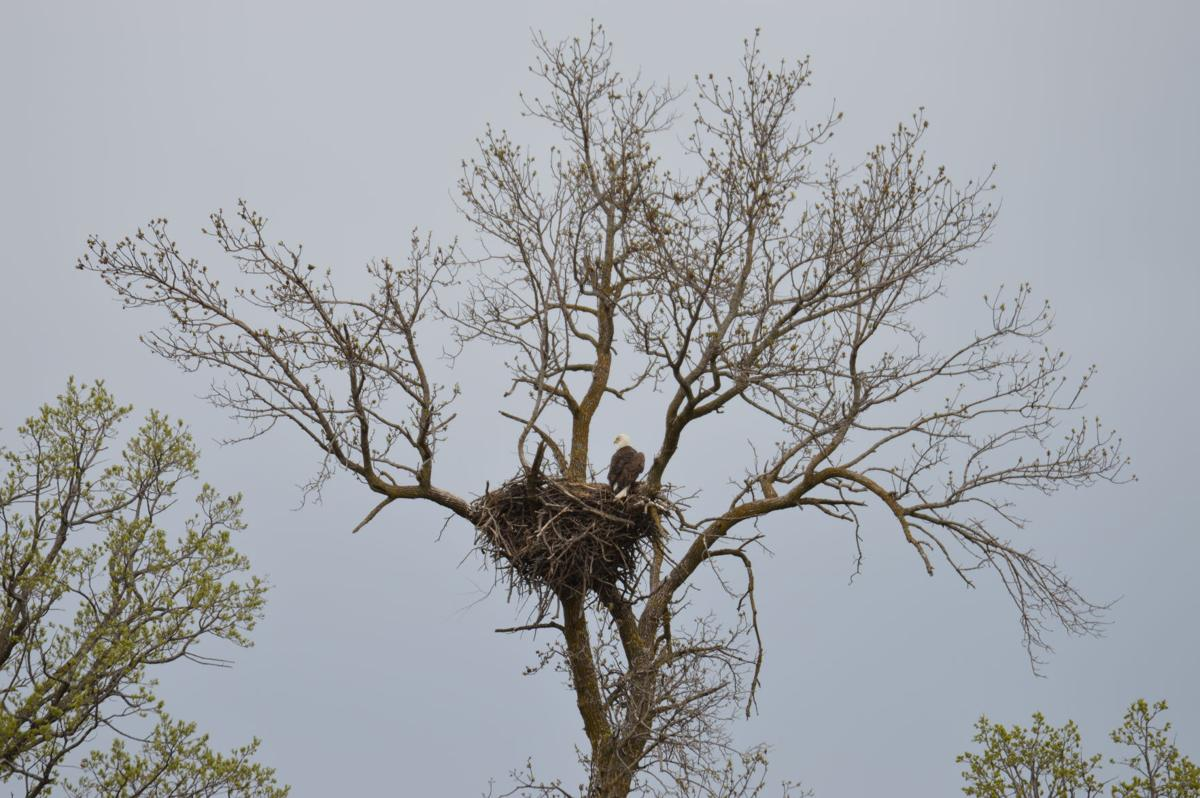 Eagle caring for its nest