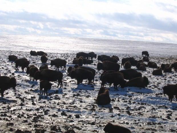 Ranch bison