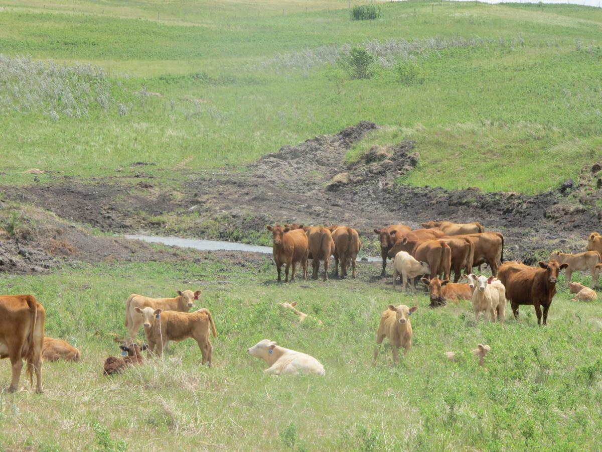 cattle amid drought
