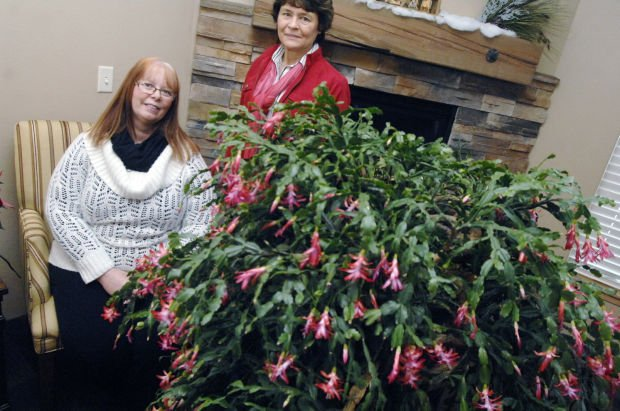 111-year-old Christmas cactus returns to home state and family