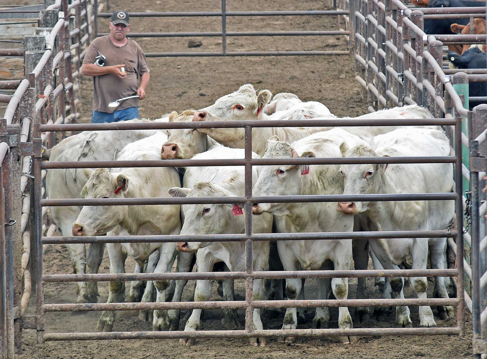 Drought causing ranchers to sell cattle Drought