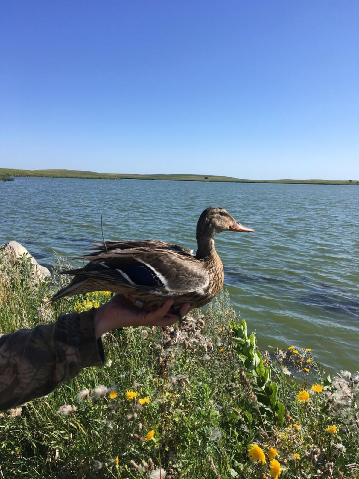 ducktracking.jpg