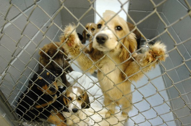 A Kennel Full Of Dogs Rescued From A Bowman County Dog Breeder Are Now In Quarantined Kennels At The Central Dakota Humane Society North Of Mandan On