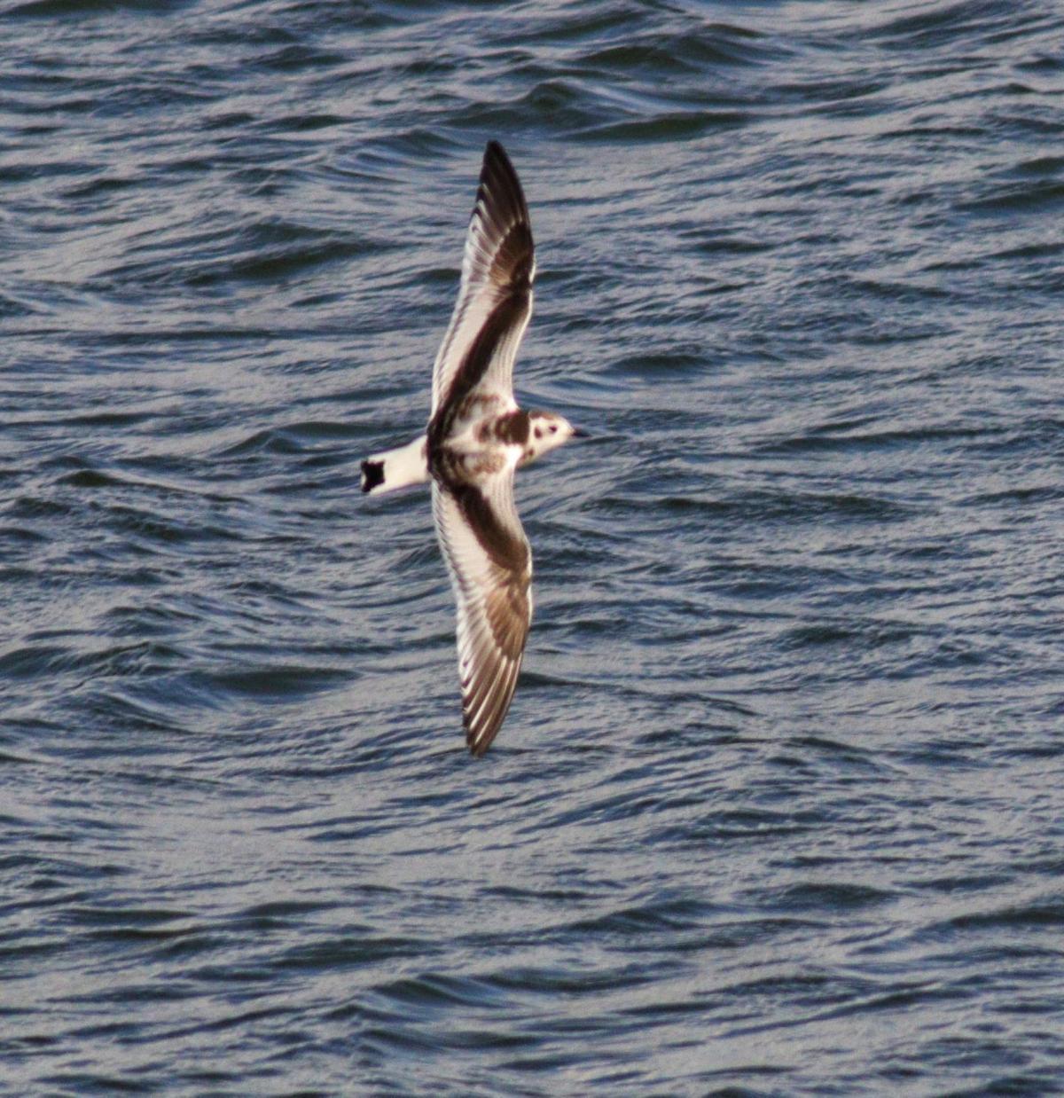 Little gull over water