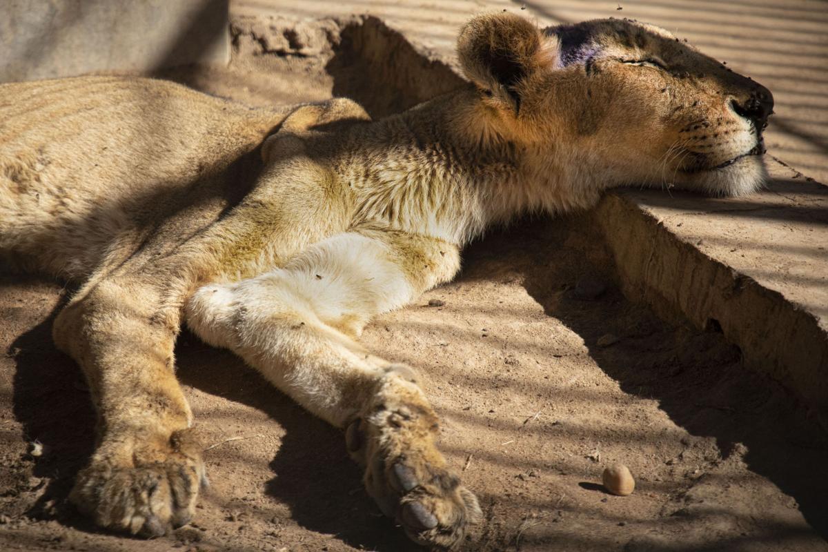 Sudan lions