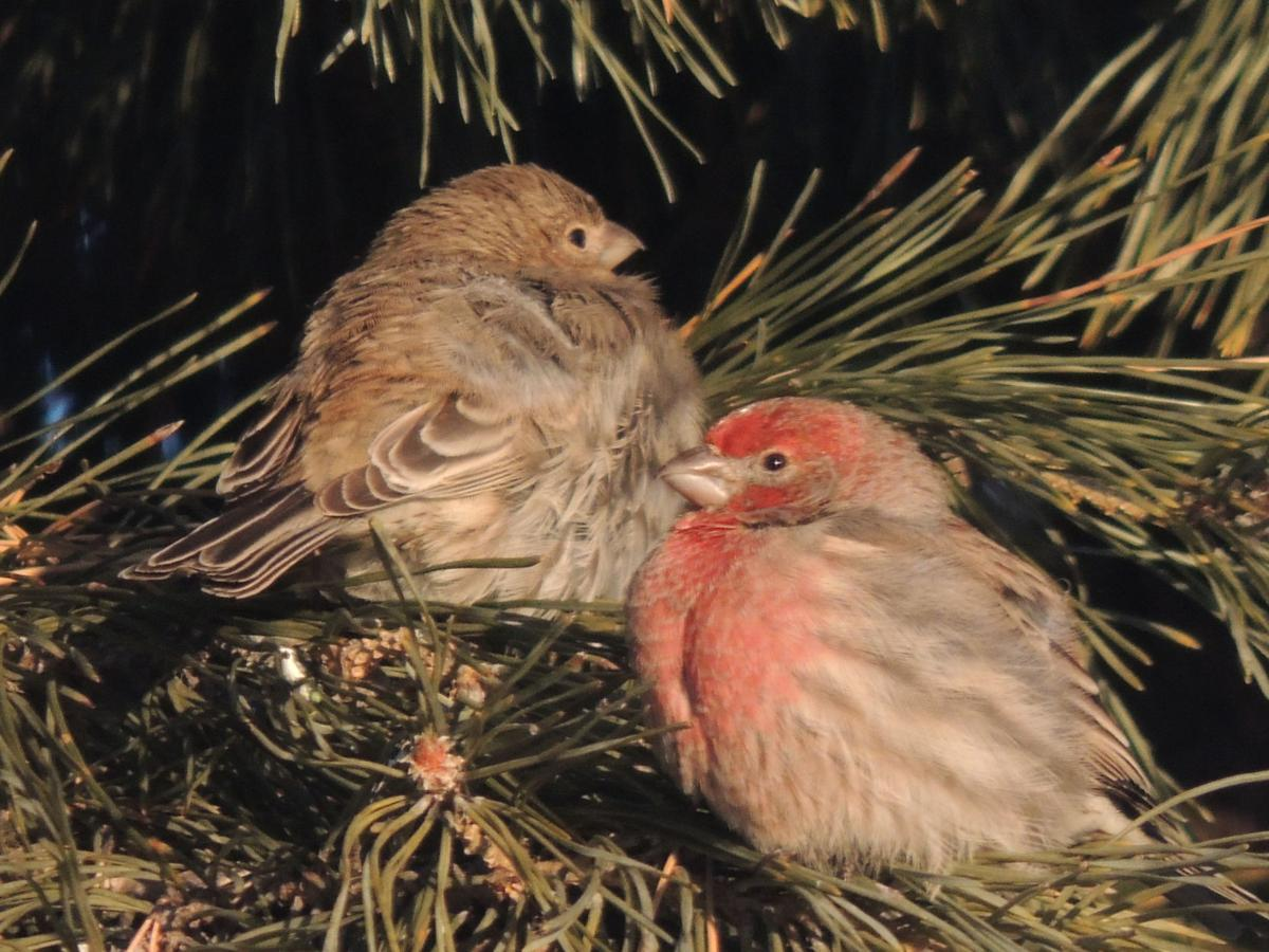 Cold Finches
