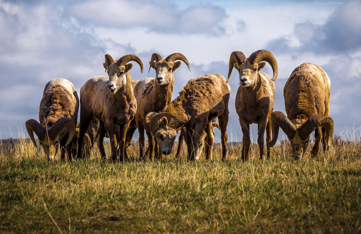 Eight hunting licenses issued for badlands bighorn sheep for North dakota fishing license