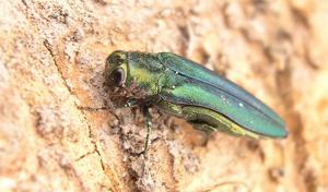 North Dakota to regulate emerald ash borer