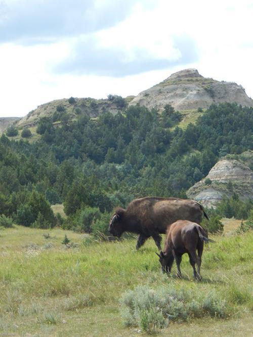 Buffalo at Theodore Roosevelt National Park