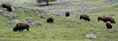File photo of a herd of bison grazing in Lamar Valley in Yellowstone National Park, Wyoming