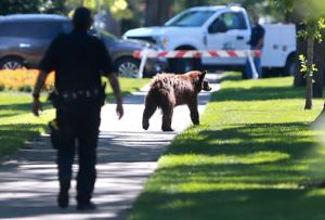 Police able to get bear out of tree in Grand Forks, but animal's survival is iffy