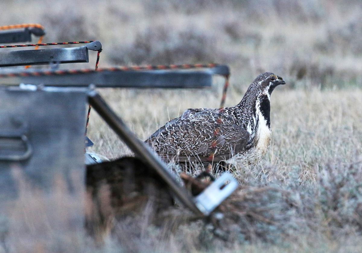 sage grouse 2