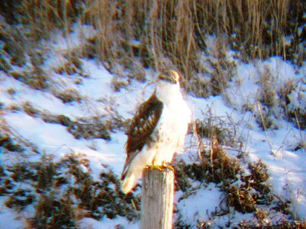 Christmas bird count: hawk
