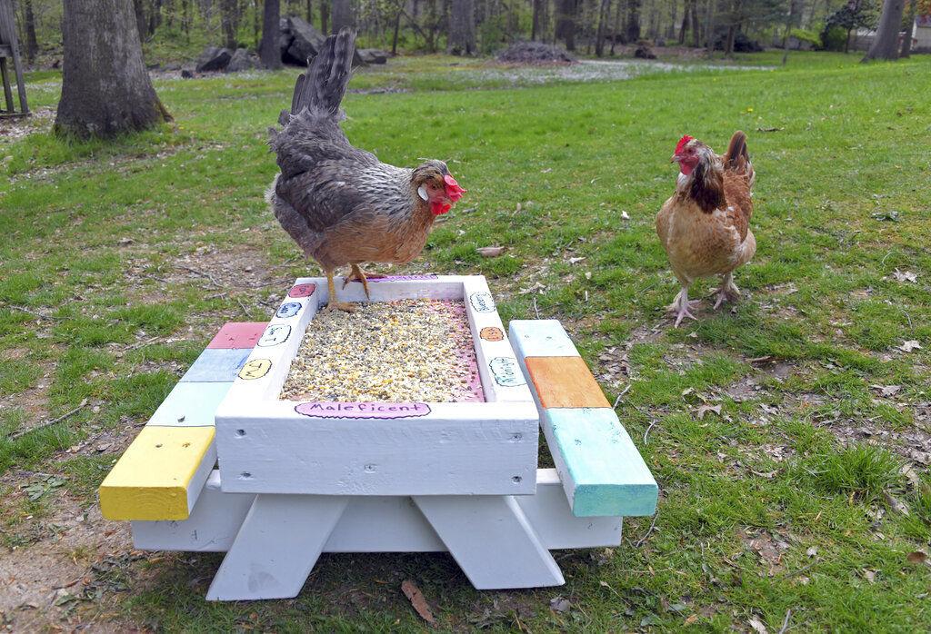 Exchange Backyard Chickens