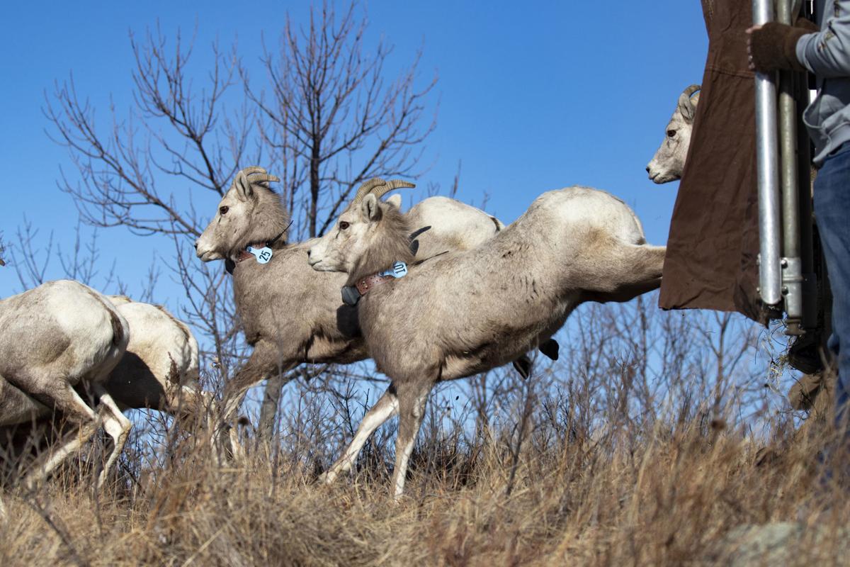 bighorn sheep on mha