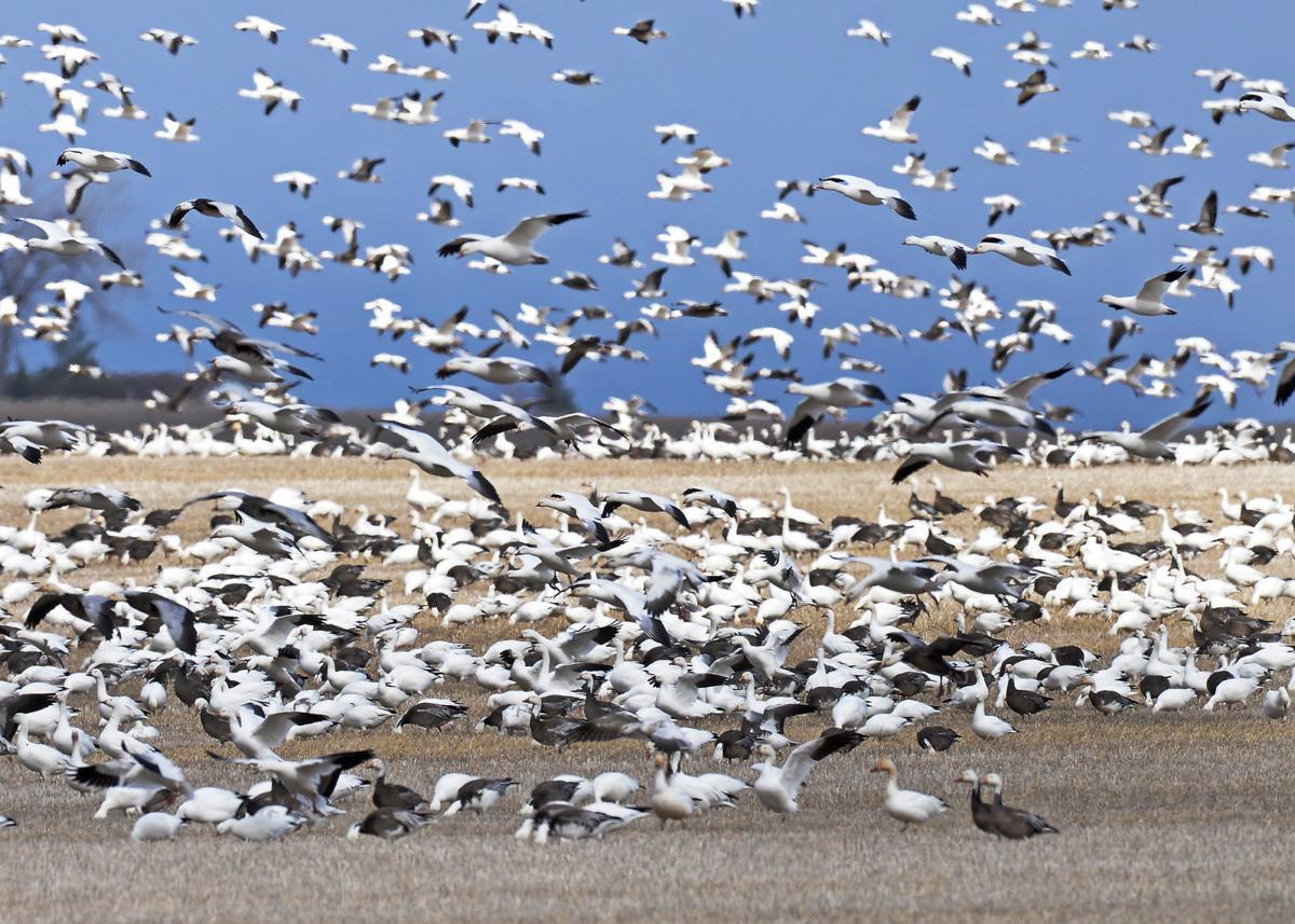 Spring light geese