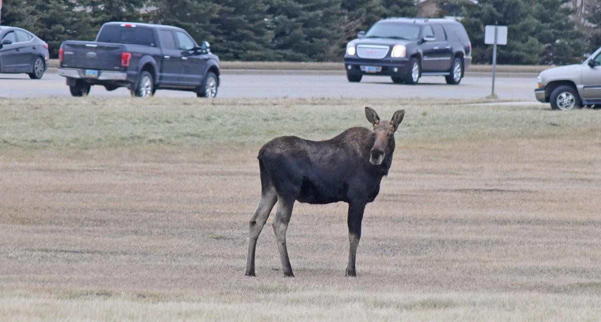 112119-nws-moose2.jpg