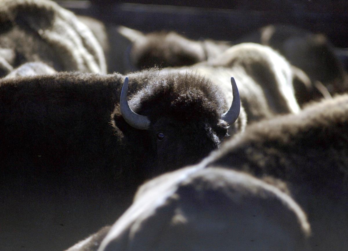 bison culling