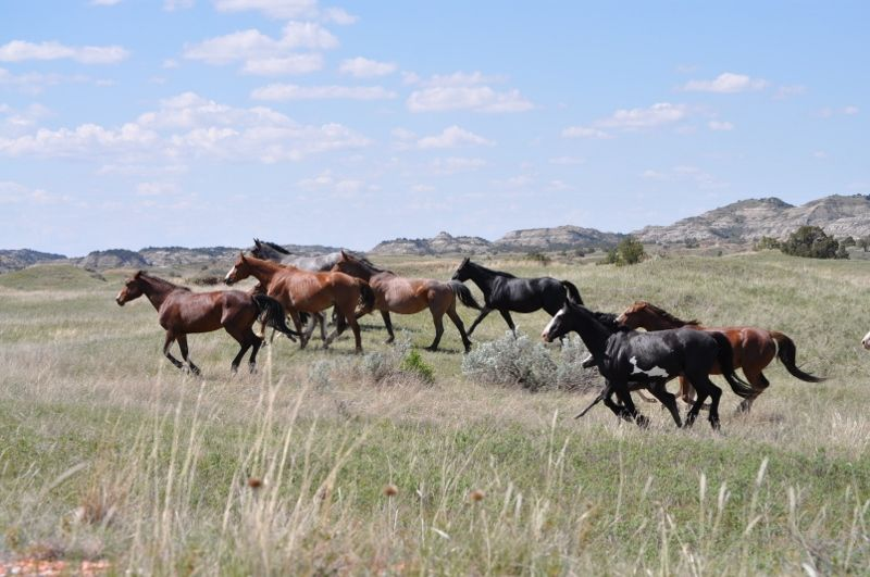 Roosevelt wild horses