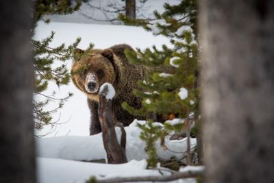 Grizzly bear (copy)