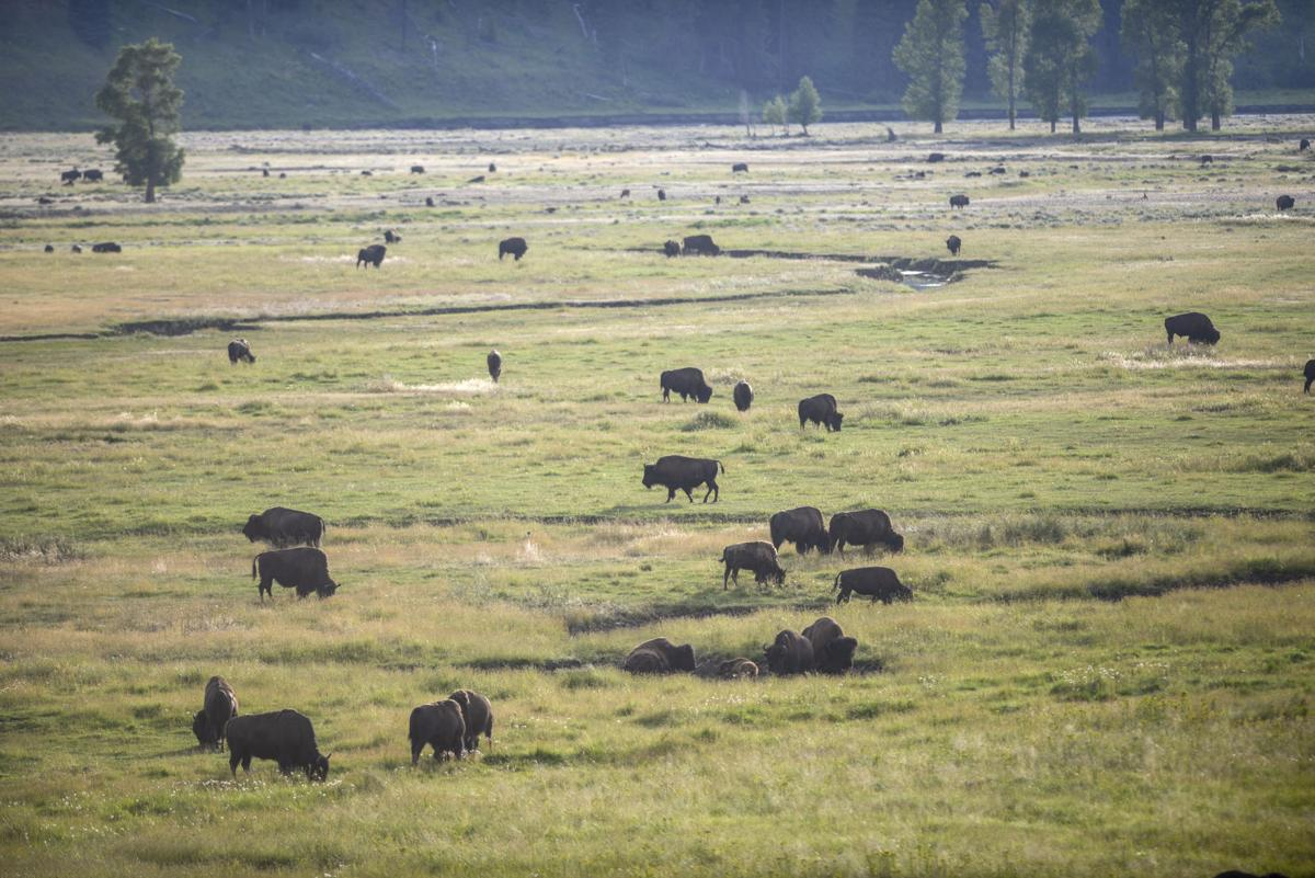 Yellowstone National Park Bison File