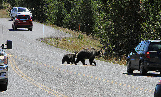 Grizzly sow and cub crossing road in Yellowstone