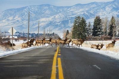 Feature Elk Herd