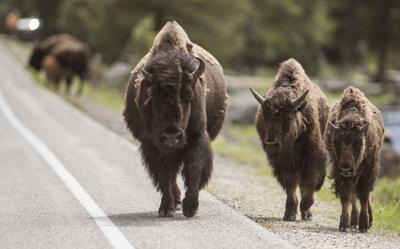 Yellowstone Bison File 02