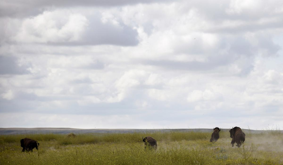 Bison Release at Fort Peck
