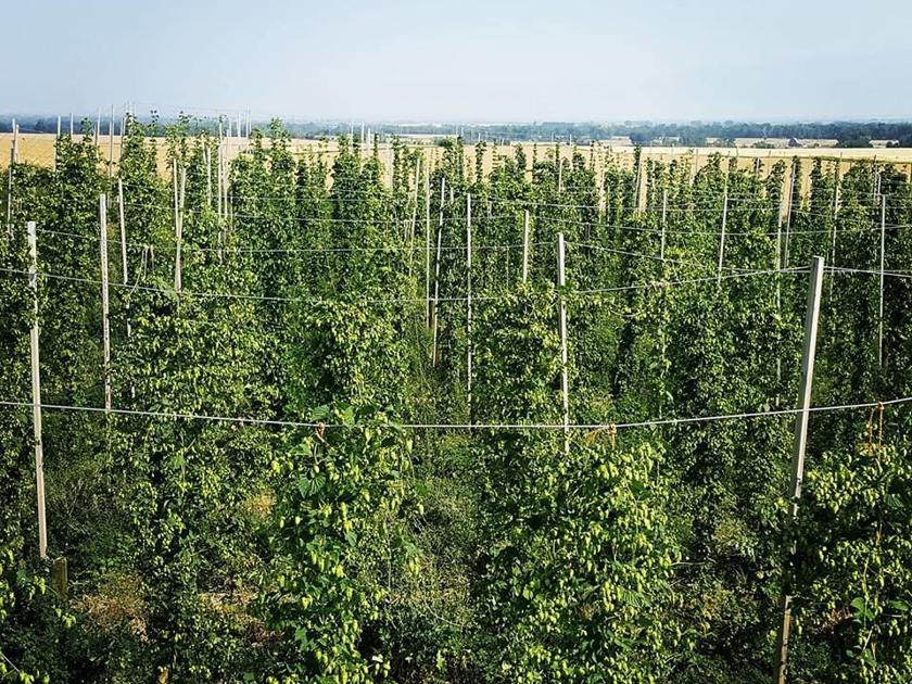 Inaugural hop festival to celebrate local craft beers